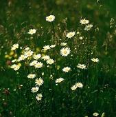Blommande äng