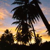 Palmträd i skymning
