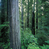 Redwood National Park, USA