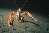 Havskräfta