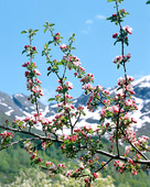 Blommande träd i fjällnatur