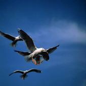 Flygande måsar