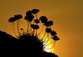 Trift i solnedgång