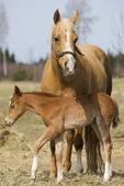 Häststo med föl