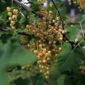 Vita vinbär