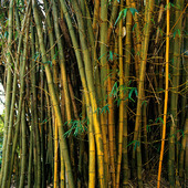 Vanlig bambu
