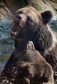 Brunbjörn som slåss