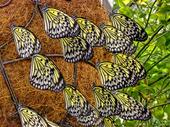 Fjärilar. Tree Nymph (idéleuconoe)