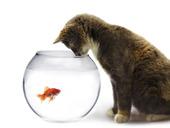 Katt vid skål med guldfisk