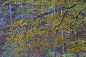 Bokskog i höstfärger