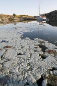 Blågröna alger, Östersjön