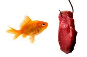 Guldfisk vid kött på metkrok