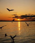 Måsar i solnedgång