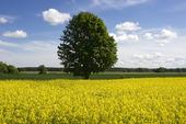 Rapsfält och solitärt träd.