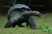 Landsköldpadda