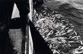Sillfiske