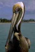 Pelikan (Pelecanusoccidentalis)