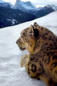 Fotomontage av  Leopard