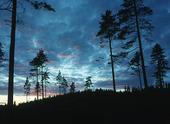 Tallar i Tivedens nationalpark, Västergötland