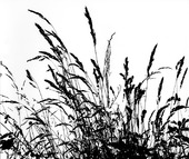 Halvgräs