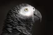 Afrikansk grå papegoja