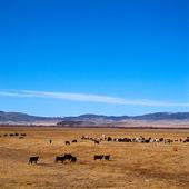 Boskap i Montana, USA