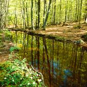 Vårbäck igenom bokskog