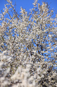 Träd i blom