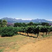 Vinodling, Sydafrika