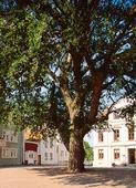 Träd på Marstrand, Bohuslän