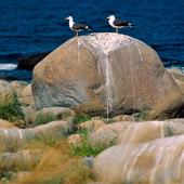 Fiskmåsar på sten