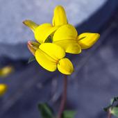 Käringtand, lotus corniculatus L.Ärtväxter, fabaceae