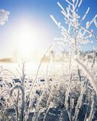 Frostiga växter
