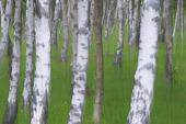 Birch trees