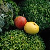 Rött och gult äpple