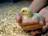 Kyckling