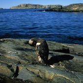 Oljeskadad fågel