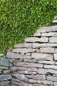 Klängväxt på stenmur