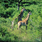 Giraffer, Sydafrika