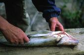 Rensa fisk