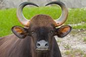 Vattenbuffel
