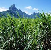Fält med sockerrör, Mauritius
