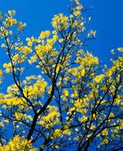 Vårträd