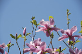Magnolia hybrid