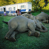 Elefanter i crkusläger