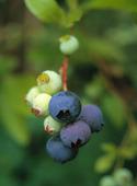 Jätteblåbär