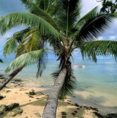 Palm vid strand, Seychellerna