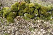 Mossbeklädd stenmur