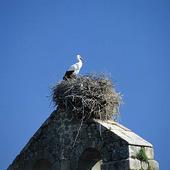 Stork (Ciconia ciconia)