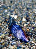 Blåmussla i sand